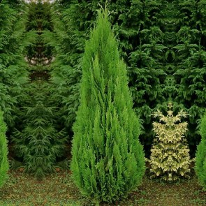 chamaecyparis-lawsoniana-green-pillar