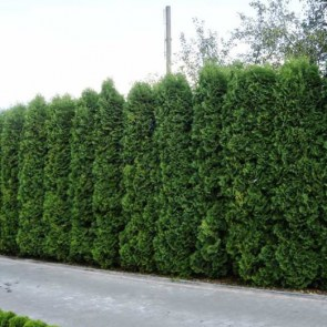 thuja-occidentalis-columna2