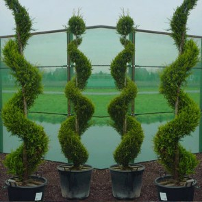 thuja-occidentalis-smaragd-spiral