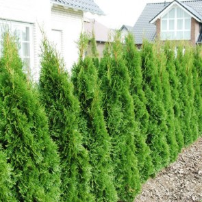 thuja-occidentalis-smaragd7