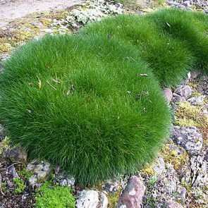 festuca-scoparia