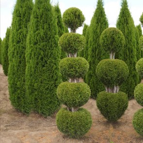 thuja-occidentalis-smaragd-bal