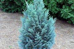 Chamaecyparis lawsoniana Pelt's Blue